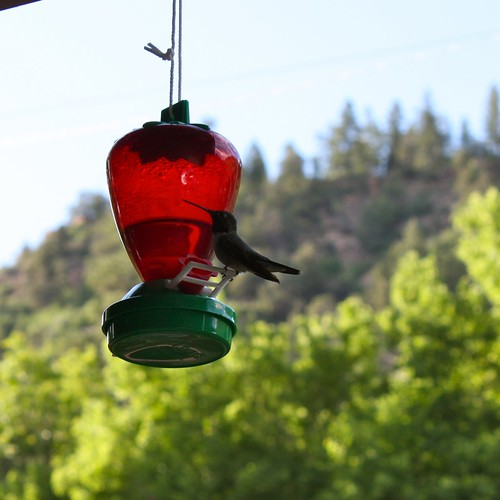 Hummingbird, Durango, CO