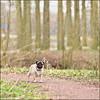 In the Park (@2008) Tags: dog holland netherlands bokeh pug nieuwegein fokke a900 zeiss135mmf18 sal135f18z sal135f18za