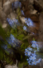Forget me nots (justyourcofchi) Tags: blue light england plants flower art me garden drag spring movement model flickr photographer small move shutter ambient forget dragging nots chiarnold justyourcupofchicom justyourcupofchi