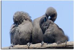 Softness (aaardvaark) Tags: soft australia canberra act callumbrae canberranaturepark duskywoodswallow artamuscyanopterus slbpreening slballopreening 201204091d0286duskywoodswallow21x14