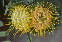 Succulents (Arkensiel Photographs) Tags: flowers cambridge orange yellow botanicalgardens succulents