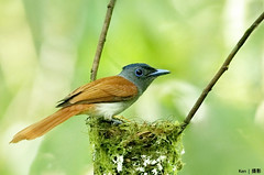 Asian Paradise Flycatcher #6 (Ken Goh thanks for 2 Million views) Tags: green asian paradise nest pentax background ngc egg clean npc hatch k5 nesting flycatcher