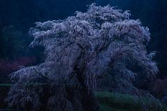 Old Cherry Tree Twilight of Rain (HarQ Photography) Tags: japan tree sakura nara cherry sony a900 sal135f18z 又兵衛桜 本郷の瀧桜