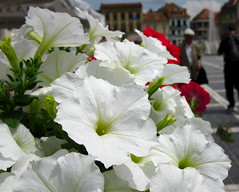 Flowers in my town (oshita946) Tags: flowers people white buildings squares petunias