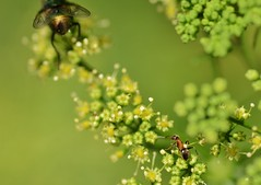 Two - Explored! (Tinina67) Tags: france flower green garden insect fly farm critter bloom tina parsley insekt garten challenge share fliege odc ameise tinina67