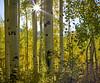 Colorado Aspen Trees (uptownguydenver) Tags: aspentrees captureone coloradoaspentreesatcrestedbutte crestedbutte iq350 phaseonexf populustremuloides deciduoustree fall fallfoliage quakingaspen tremblingaspen yellowleaves co usa
