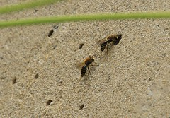 Ivy Bees (andyt1701) Tags: jersey