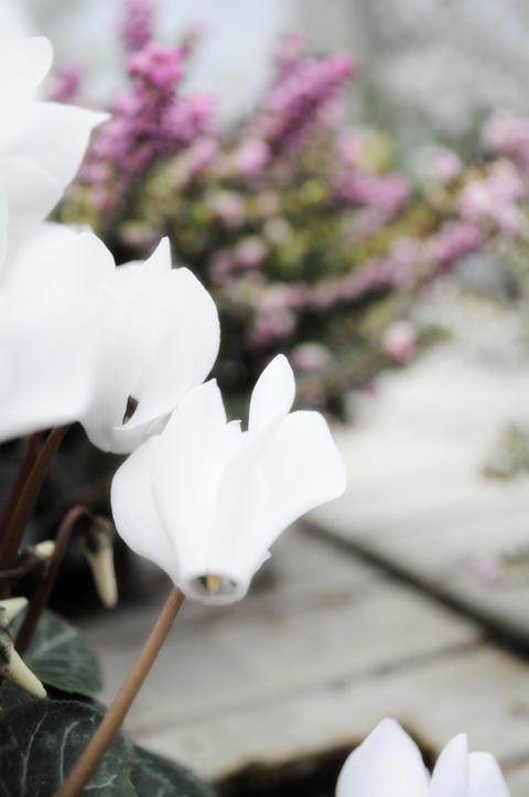 ciclamino bianco