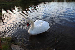 skr108 (bjarne.stokke) Tags: lake norway canon norge swan august swans 20mm vann 2010 rogaland haugesund sj svaner 500d swane svane haraldsvang skeisvang canoneosrebelt1i aboveandbeyondlevel1
