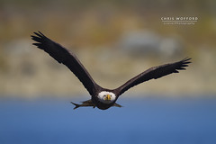Bald Eagle w-Catch (Chris Wofford) Tags: blue chris wild brown bird art fall nature water beautiful beauty nova birds america canon river fly us flying interestingness fantastic wings fishing md eyes rocks afternoon dof view natural eagle bokeh dam wildlife flight baldeagle feathers bald maryland national american raptor 7d usm 500mm majestic eagles ef f4 mothernature magnificent geographic birdsofprey naturally 2010 nationalgeographic watcher feathery birdwatcher natgeo conowingo wofford conowingodam avianexcellence mothernaturesgreenearth chriswofford