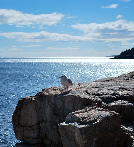 Seagull at Acadia