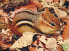 snacking chipmunk (Shandi-lee) Tags: autumn red orange brown green fall nature leaves animal closeup rodent october stripes chipmunk groundsquirrel