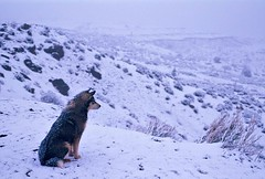 Navajo Snowdog (icecubephoto - trying to catch up) Tags: wolf monumentvalley winnerbc