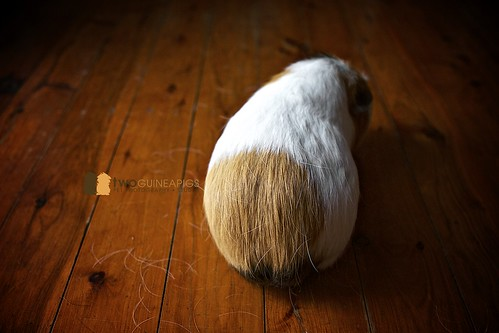 pet photography of a guinea pig