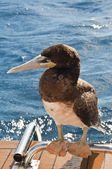 brown booby hitch hiker