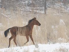 My Little Pony....I wish (littlebiddle) Tags: wild horses nature washington wildlife sony dslr equine a700