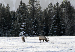 Grazing Elk (zeesstof) Tags: trees winter snow canada mountains raw antlers alberta banff elk conifers banffnationalpark canoneos7d canon18135is grazingelk zeesstof