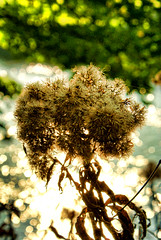 A head of bokeh (Autumnsonata) Tags: light plant art nature water beautiful beauty sparkles wales rural landscape bokeh memories scenic scene dreams topaz deadhead
