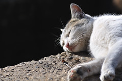 I'm so sleepy... (Claudiu C) Tags: life light sleeping wild summer white nature animal cat fur relax dream lay nip dreamming