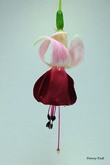 Fuchsia 'Breevis Minimus' (pennyeast) Tags: flower botanical fuchsia capetown papaalphaecho