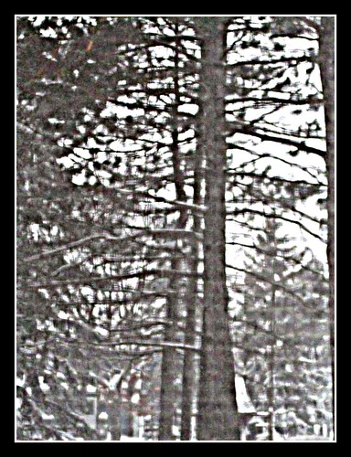 Pine Trees on a Snowy Day