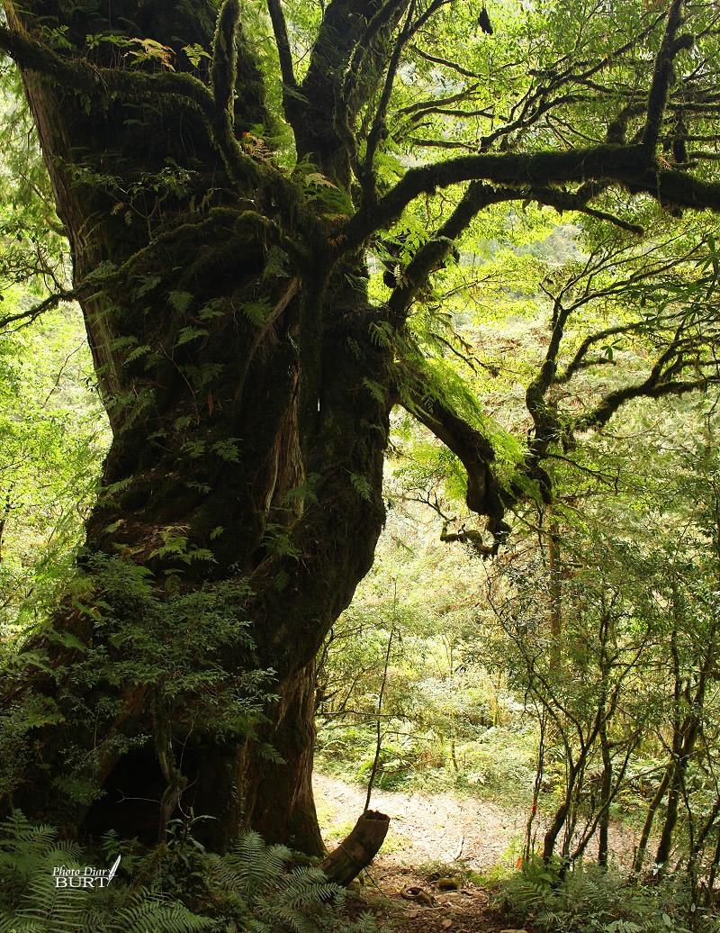 巨木登山口的巨木