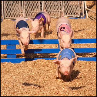 Pig Race at the Orange County Fair