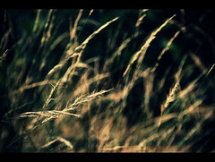 illuminated (VinothChandar) Tags: sun india abstract blur green nature field grass sunshine canon photography gold golden photo glow shine rice bright paddy bokeh burn 5d blaze thorn chennai glimmer spark shining tamilnadu brighten illuminate markii vandalur
