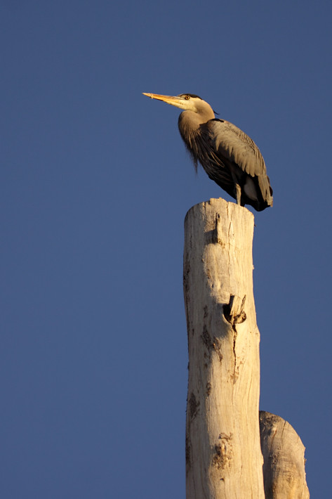 120910_greatBlueHeron