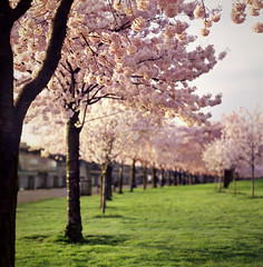 a entirely different kind of season (manyfires) Tags: morning pink trees film oregon mediumformat portland dawn spring downtown blossoms hasselblad esplanade bloom pdx cherrytrees waterfrontpark hasselblad500cm