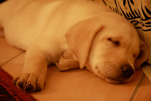 yellow Labrador Retriever - Pongo