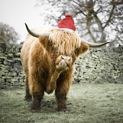 Santas new helper. (STCM) Tags: santa field hat animal tongue wall cow farm lick bull stephen highland tc morris stcm