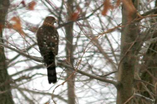 coopers hawk in my backyard