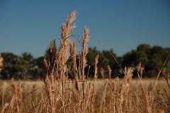 Kissimmee Prairie Grasses