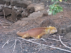 Land Iguana, Charles Darwin Research Station