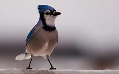 Personality of a Blue Jay Part 6 (mbaglole) Tags: blue winter island nikon jay sb600 prince 300mm edward nikkor pei f4 teleconverter afs summerside 14x nikonsb600 tc14 nikon300mmf4 nikon14xteleconverter