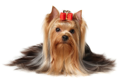 The Yorkshire Terrier of show class