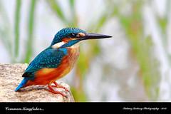 Common Kingfisher (Alcedo atthis)   E X P L O R E D (suhaaz Kechery) Tags: birdwatching commonkingfisher alcedoatthis canon60d commonkingfisheralcedoatthis suhaazkechery chiranellu pattikkara sigma150500daapoos