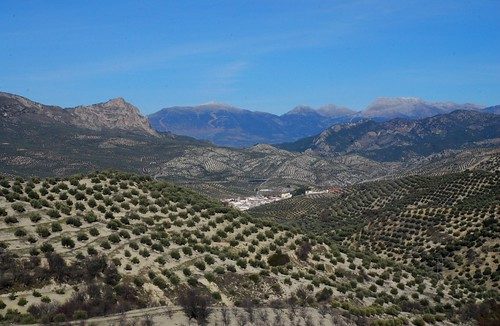 Olive Groves for miles