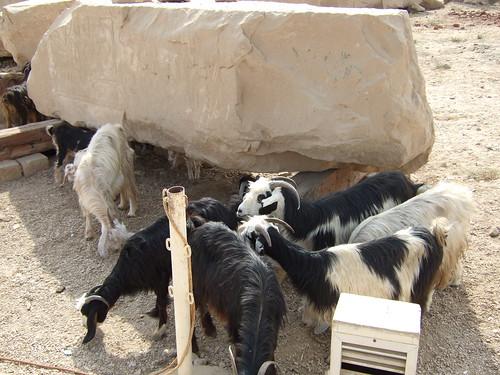 Goats Roaming Archaeology Plot