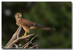 Common Kestrel (ibrahem N. ALNassar) Tags: birds canon eos n l kuwait usm f56 common society ef osk kestrel 30d 400mm    ornithological alnassar   ibrahem