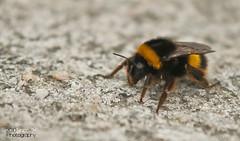 Cape Ortegal Bumblebee (Daniel Lois (SincoZH)) Tags: ocean españa macro cabo nikon sigma bumblebee galicia cape kap makro 70200 f28 hummel atlantico abejorro cantabrico d90 ortegal d80