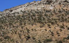 Homhil (Michael Elkjaer) Tags: tree nature island blood dragon yemen endemic isolated socotra homhil