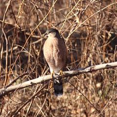 Bird of Prey (iofdi) Tags: winter canon mature raptor coopershawk accipitercooperii 50d 24105f4l orangeeye viewfrommycomputerroom