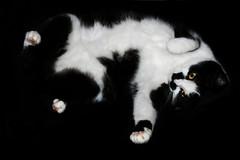 White belly #2 - golden eyes (jinterwas) Tags: white black tongue laughing cat kat feline play kitty free cc creativecommons lachen puss tong zwart wit playful pussycat poes bek onblack spelen pootjes speels freetouse witvoetje lijneke kattelijne witpootje