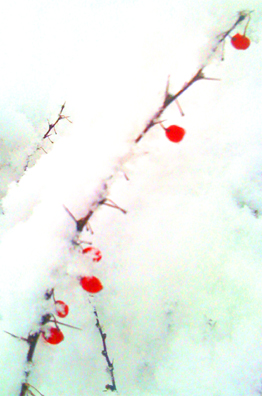WinterBerriesInSnow1-11