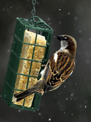 Suet Snow House Sparrow