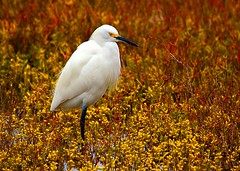 Snowy Egret Marsh II (Forget Me Knott Photography) Tags: california bird beach animal chica snowy wildlife huntington reserve wetlands bolsa egret brianknott forgetmeknottphotography fmkphoto