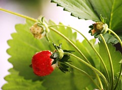 One Juicy Strawberry (bigbrowneyez) Tags: red food plant canada detail green nature leaves lines spring juicy yummy colours quebec sweet montreal patterns details memories strawberries tasty visit veins unripe ripe tendrils tangy complimentary picotedges flickrjuicy