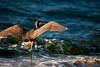 reef heron2 (enujsinoda) Tags: birds kulay pinoykodakero garbongbisaya